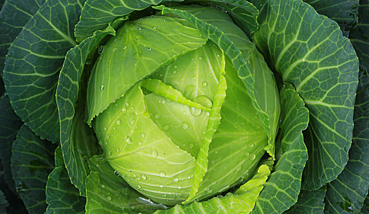 10 Impressive Health Benefits of Cabbage