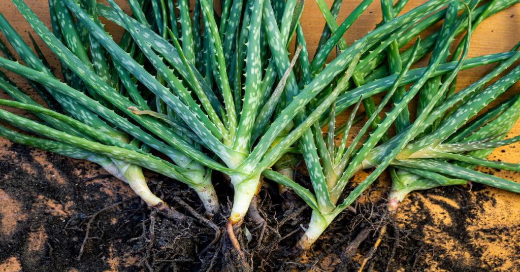 How To Grow Edible Aloe Vera At Home (Plus 30 Amazing Health Benefits)